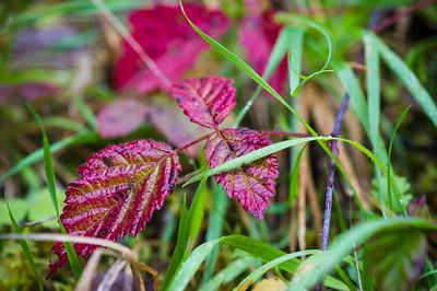 Blackberry vine in autumn