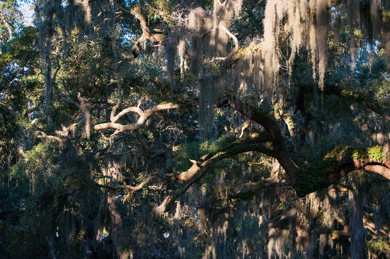 Spanish moss and live oaks glow in the morning sun.