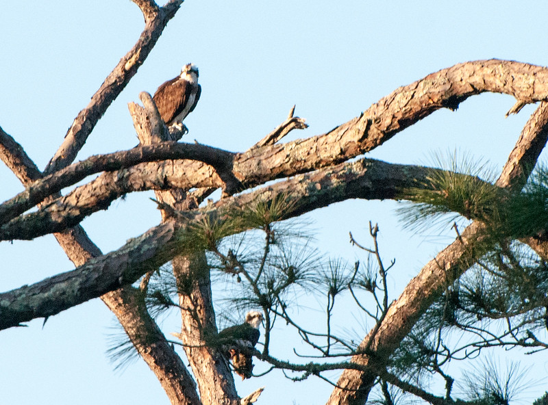 A pair of osprey bask in the morning sun. The top osprey looks at me.