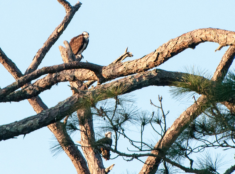 A pair of osprey bask in the morning sun.