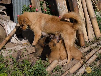 Rock Inn Puppy Litter