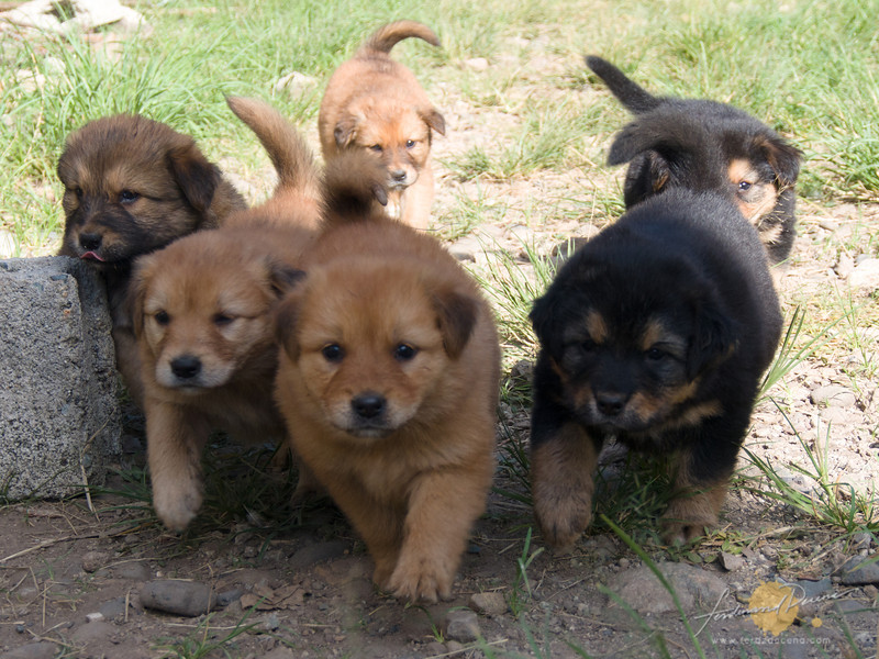 Rock Inn Puppy Litter