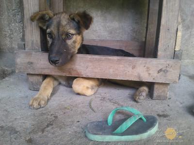 Kalinga Puppy
