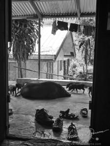 Pigs by the doorway