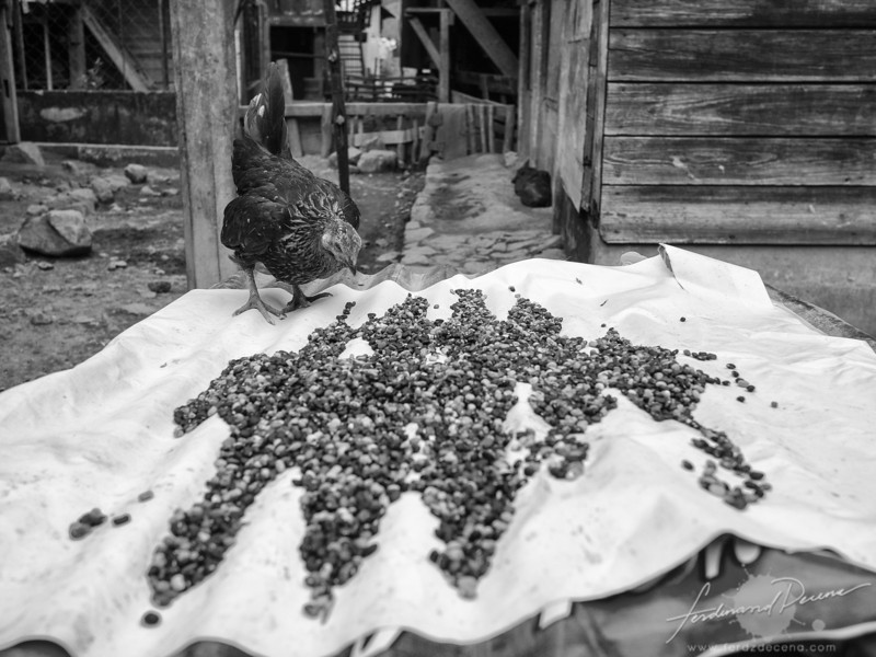 A native chicken and some beans being dried under the sun
