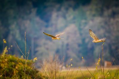 Northern Harriers in Flight