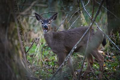 Deer Munching on Dried Leaves