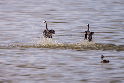 Western Grebes walking on water Tule Lake, California