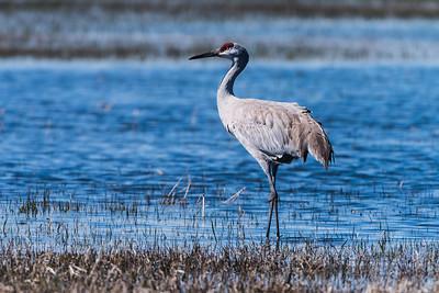 Sandhill Crane in Malheur National Wildlife Refuge in Oregon
