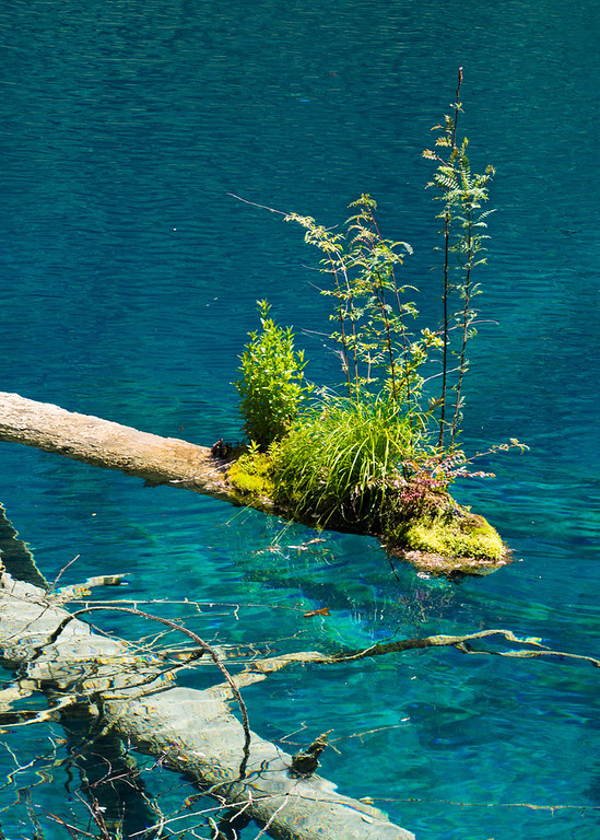 Shrub growing on the tip of a floating log,  Jiuzhaigou National Park, Sichuan Province