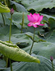 Lotus flower, Jinshan Park