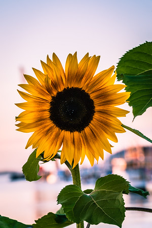 Sunflower Bloom at the Harbor