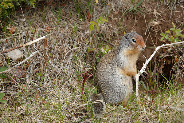Columbia Ground Squirrel at Two Jack Lake