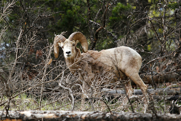 Big Horn Sheep grazing along the Lake Minnewanka Loop Drive