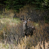 Mule Deer spotted along the drive in Banff
