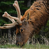 Elk eating along the Bow Valley Parkway (1A)