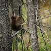 Red Squirrel eating along the Grassi Lakes Trail