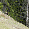Spotted grizzly bear as we were getting on Trans-Canada Highway