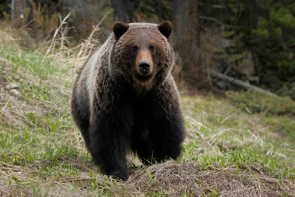 Grizzly bear along Trans-Canada Highway near Lake Louise exit