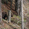 Grizzly bear along Trans-Canada Highway near Lake Louise exit moving back into the wooded area