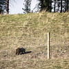 Grizzly Bear spotting as we drive through Banff National Park