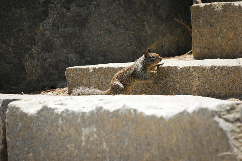 California Ground Squirrel climbing amphitheater steps at Glacier Point