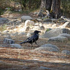 Raven in the Wawona Section of Yosemite