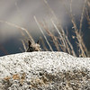 California Ground Squirrel checking out the views at Glacier Point