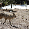 Coyote walking as we make our way to Yosemite Valley