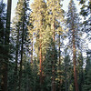Gary is just a speck among all the giant sequoias