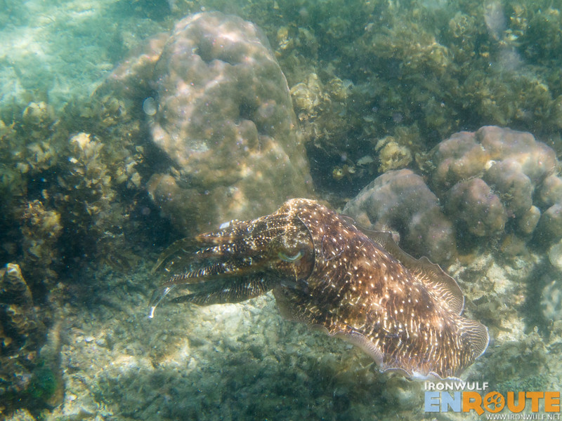 Finding this 2-3 feet long cuttlefish while snorkeling in Cadlao Lagoon. The biggest I've seen
