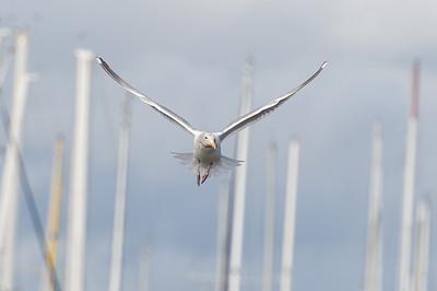 Seagull Among the Sailboats