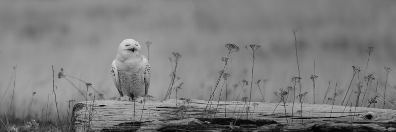 Snowy Owl - Ocean Shores, Washington