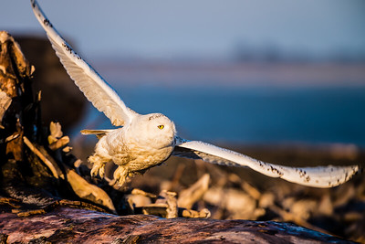 Snowy Owl takes flight - Ocean Shores, Washington.