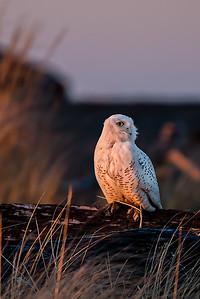 Snowy Owls Feb  10, 2013