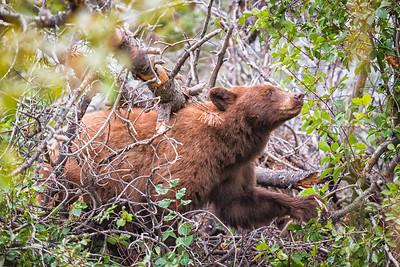 Cinnamon Black Bear - Tetons