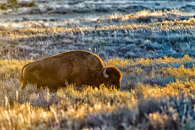 Bison in Early Morning Sun