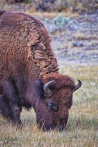 Yellowstone Bison