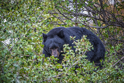 Black Bear in the Tetons