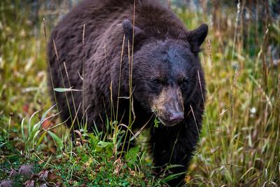 Black Bear in Yellowstone