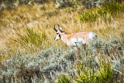 Pronghorn Antelope in Yellowstone National Park