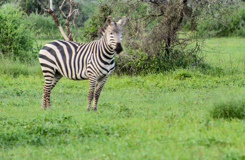 Zebras, or as our British cousins say, Z'bra, are found wild, and all over the place.  They have strong hind legs to protect them selves by kicking prey.  Sorry for the miss-focus