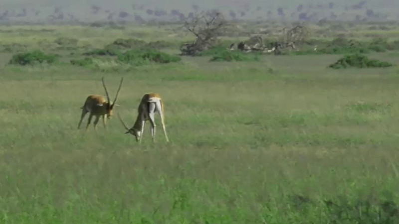 Two Thompson Gazelles, marking their breeding territory.  They didn't fight long, becoming more interested in filling their bellies with the vegetation around them.