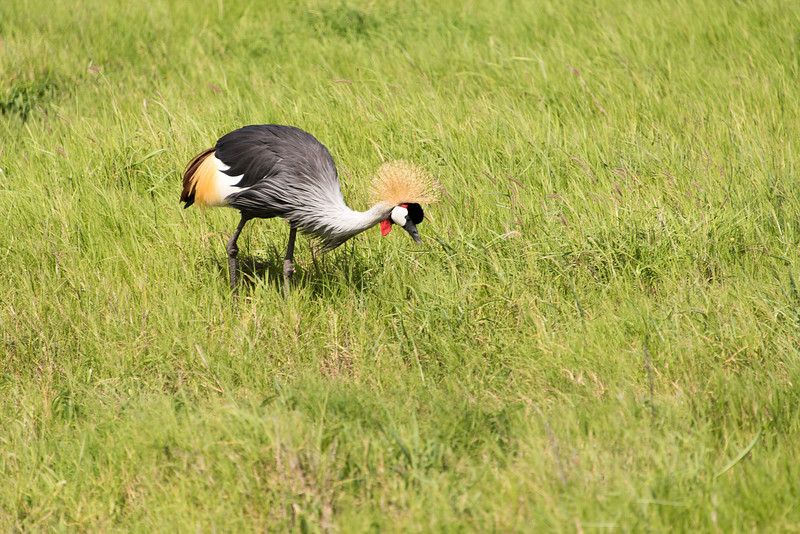 The grey crowned crane is on the Kenyan Coat of  Arms.