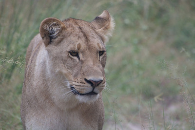Beautiful lioness...