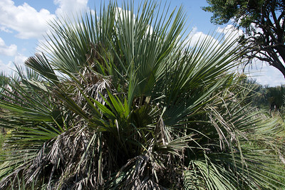 Palmetto NOT. Palm tree that the animals have not allowed to grow tall.
