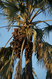 Palm nuts are eaten by many animals.