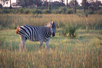Unique Zebras....tan stripe on the white stripe.