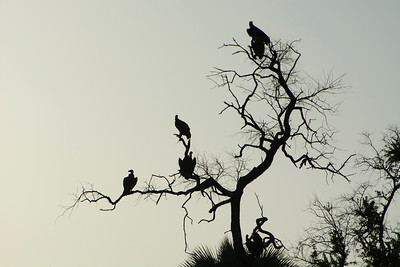 Vultures waiting for their share of the kill.