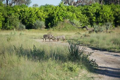 Warthogs in mating season.